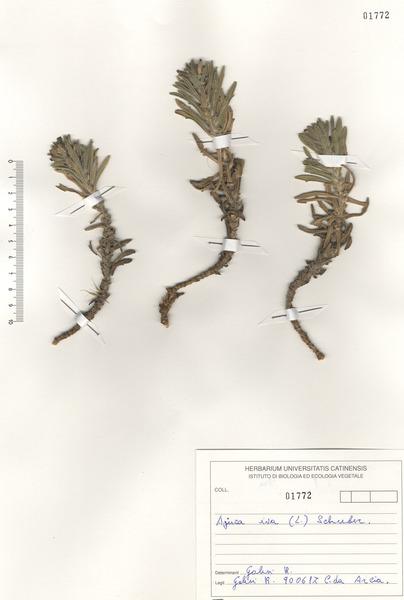 Ajuga iva (L.) Schreb. subsp. iva