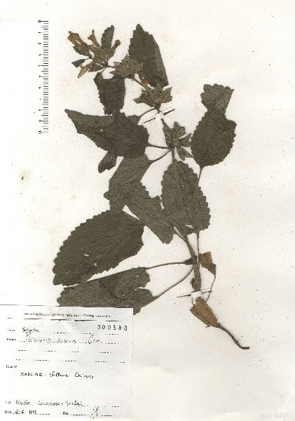 Melittis melissophyllum L. subsp. albida (Guss.) P.W.Ball