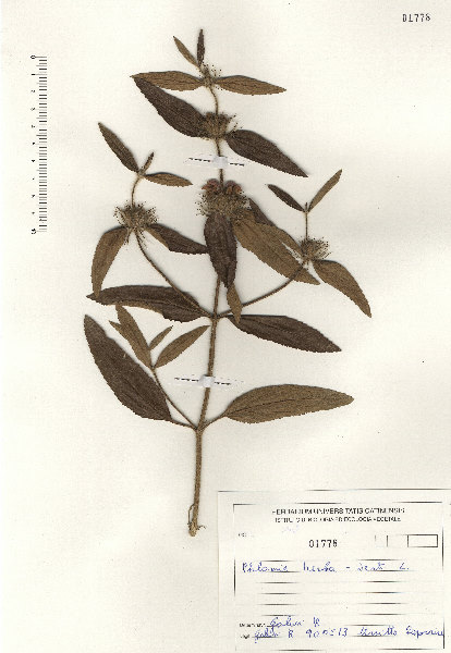 Phlomis herba-venti L. subsp. herba-venti