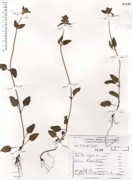 Prunella vulgaris L. subsp. vulgaris