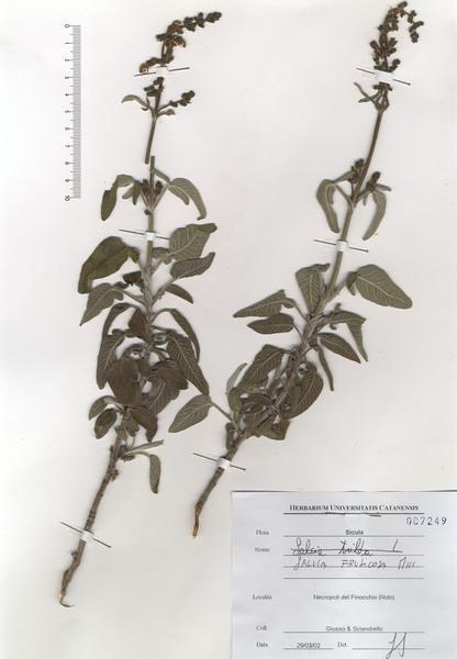 Salvia fruticosa Mill. subsp. thomasii (Lacaita) Brullo, Guglielmo, Pavone & Terrasi