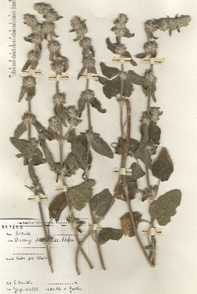 Stachys germanica L. subsp. dasyanthes (Raf.) Arcang.