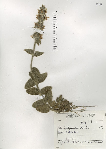 Stachys tymphaea Hausskn.