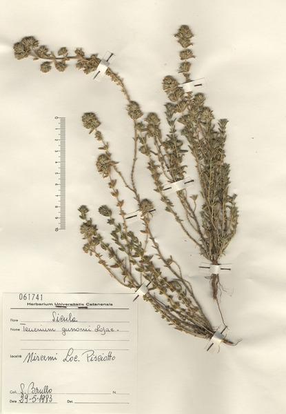 Teucrium polium L. subsp. polium