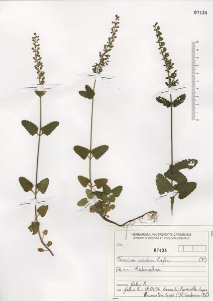 Teucrium siculum (Raf.) Guss.