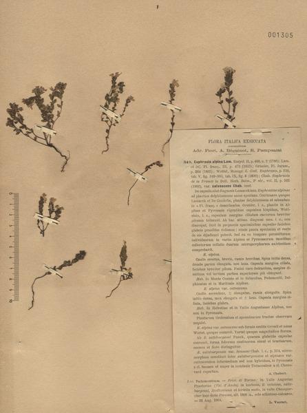 Euphrasia alpina Lam.