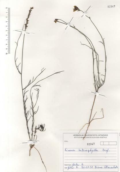 Linaria multicaulis (L.) Mill. subsp. multicaulis