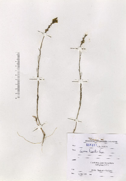 Linaria multicaulis (L.) Mill. subsp. humilis (Guss.) De Leon., Giardina & Zizza