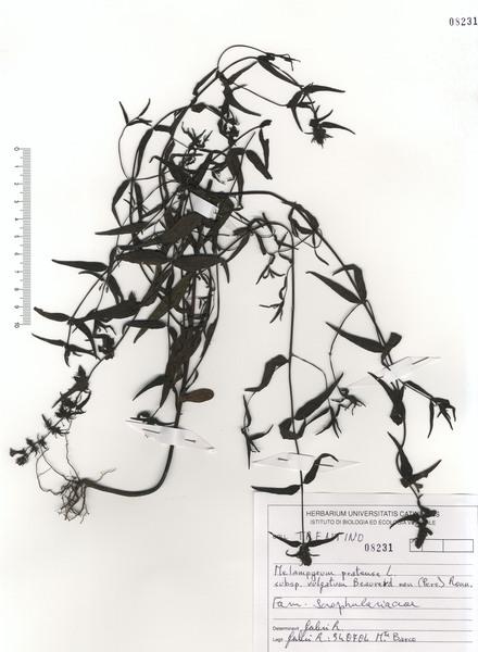 Melampyrum pratense L. subsp. commutatum (Tausch ex A.Kern.) C.E.Britton
