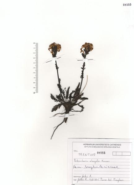 Pedicularis elongata A.Kern.