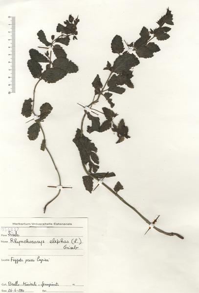 Rhynchocorys elephas (L.) Griseb.