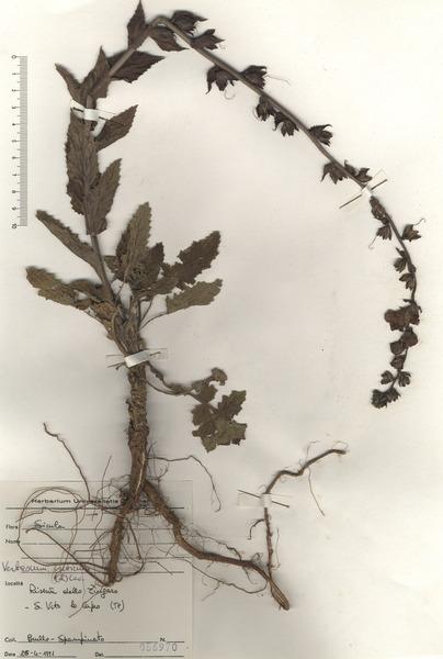 Verbascum creticum (L.) Kuntze
