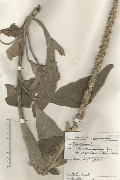 Verbascum niveum Ten. subsp. garganicum (Ten.) Murb.