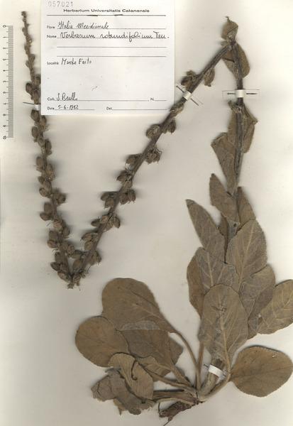 Verbascum rotundifolium Ten.