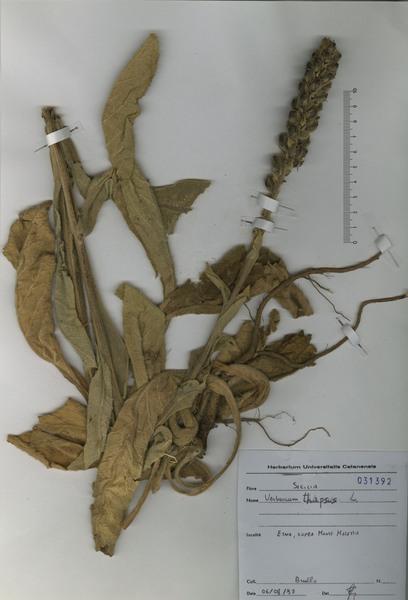 Verbascum thapsus L. subsp. thapsus