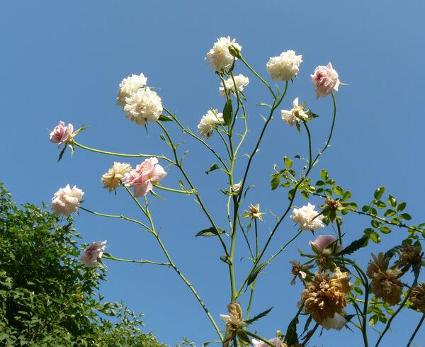 Rosa 'Bloomfield Abundance'