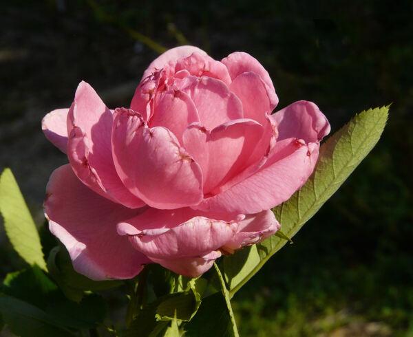 Rosa 'Prairie Dawn'