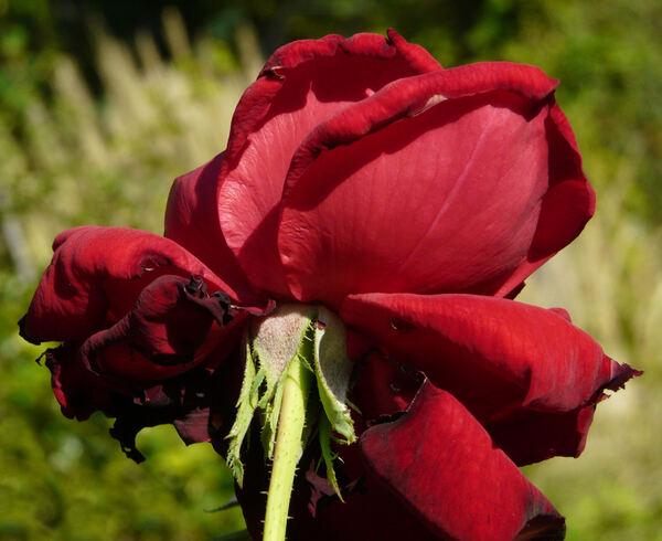 Rosa 'Kardinal'