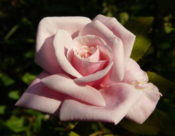 Rosa 'Blossom Time'
