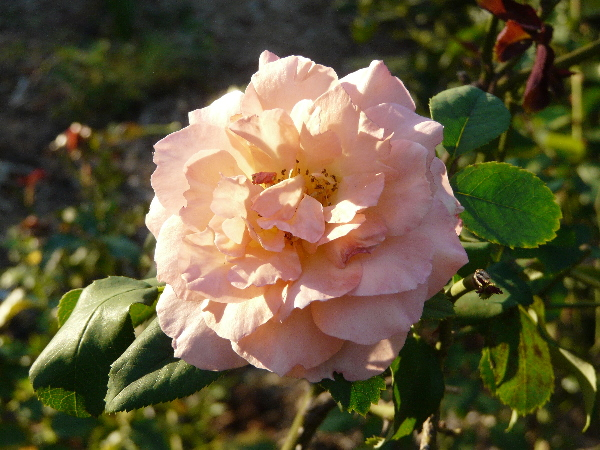 Rosa 'Mistral'