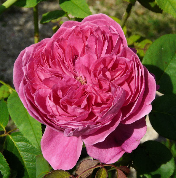 Rosa 'Accademia ®'