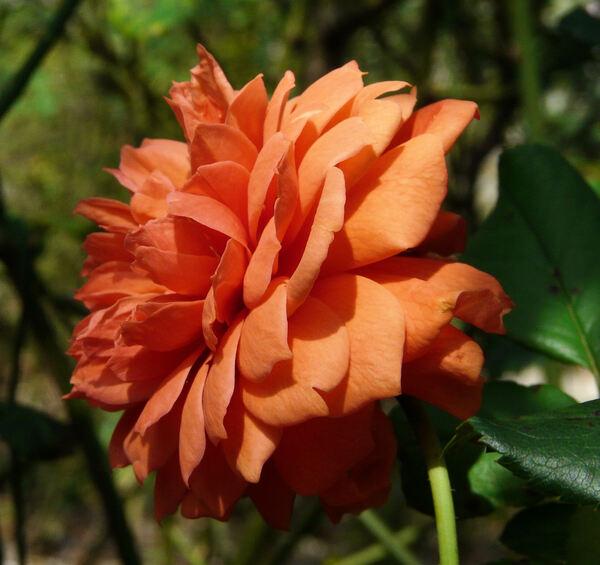 Rosa 'Summer Song ®'
