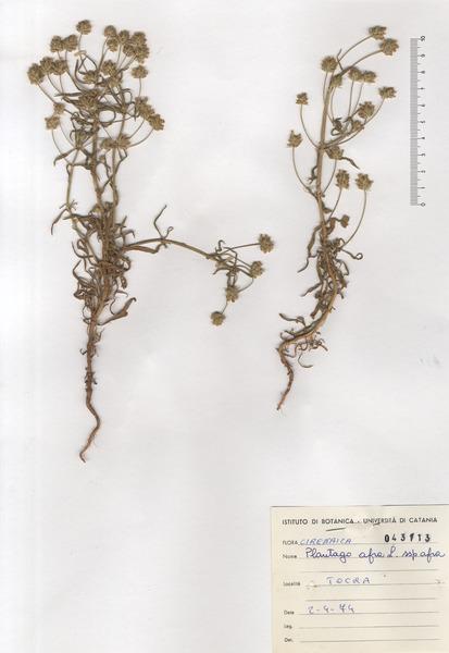 Plantago afra L. subsp. afra