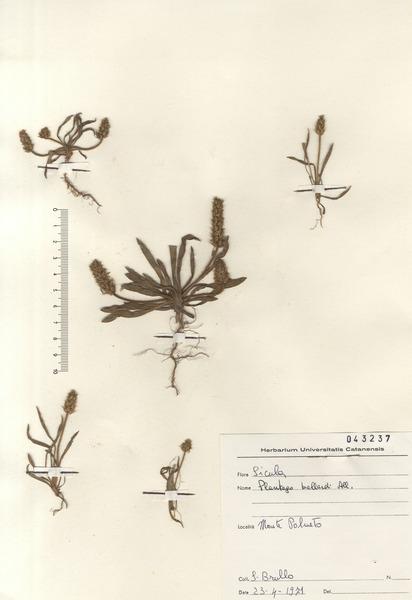 Plantago bellardii All. subsp. bellardii