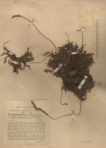 Plantago cupanii Guss.