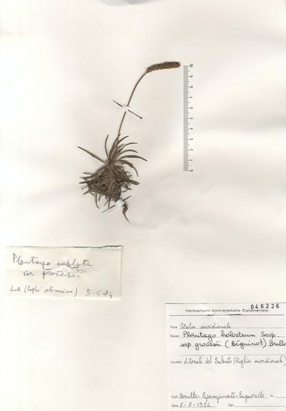 Plantago subulata L.