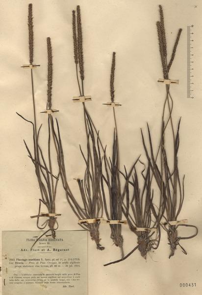 Plantago maritima L. s.l.