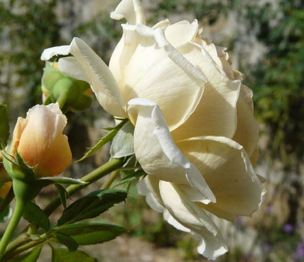 Rosa 'Crown Princess Margareta'