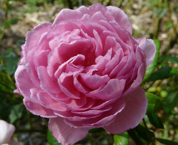 Rosa 'Wisley'