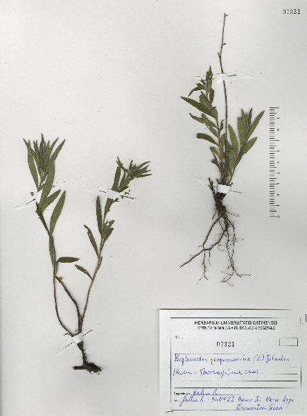 Aegonychon purpurocaeruleum (L.) Holub