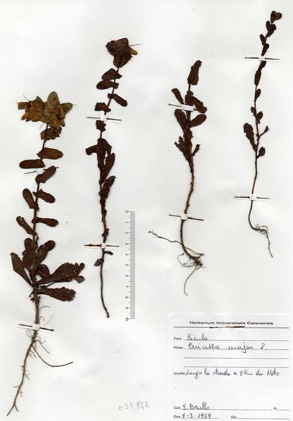 Cerinthe major L. subsp. major