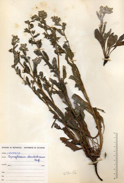 Cynoglossum clandestinum Desf.