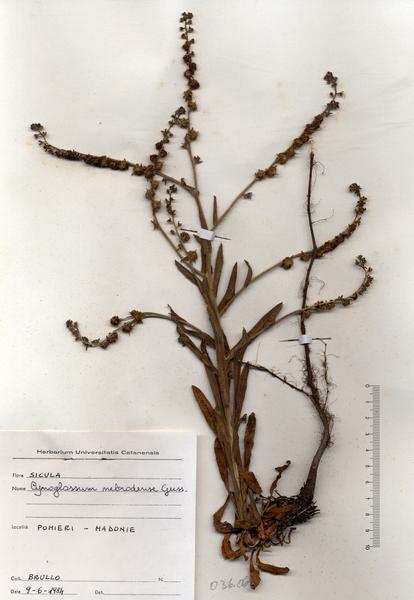 Cynoglossum nebrodense Guss. subsp. nebrodense