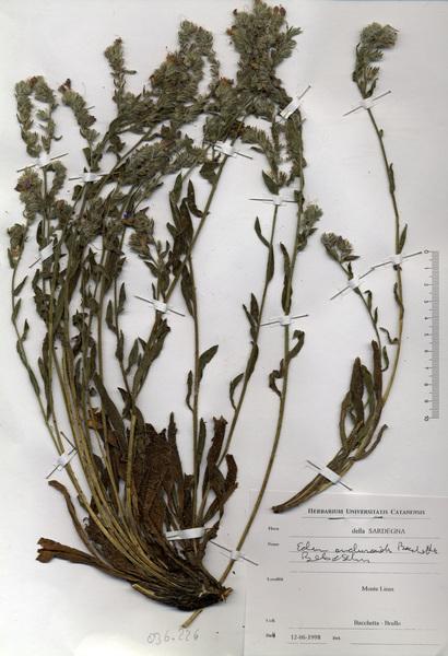 Echium anchusoides Bacch., Brullo & Selvi