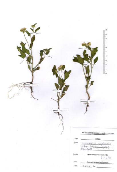 Heliotropium suaveolens M.Bieb. subsp. bocconei (Guss.) Brummitt