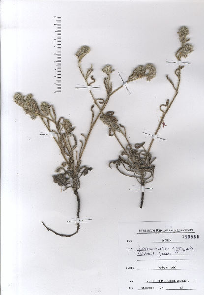 Hormuzakia aggregata (Lehm.) Guşul.