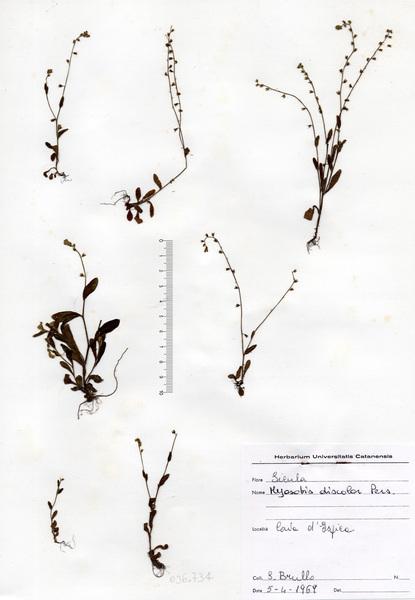 Myosotis discolor Pers. subsp. discolor