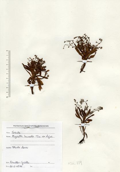 Myosotis tineoi C.Brullo & Brullo