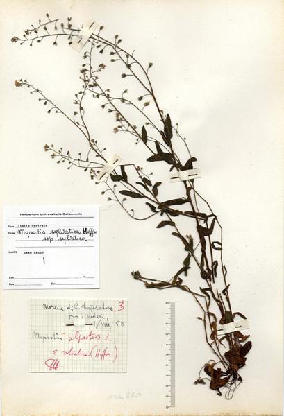 Myosotis sylvatica Hoffm. subsp. sylvatica