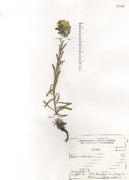 Onosma echioides (L.) L. subsp. echioides