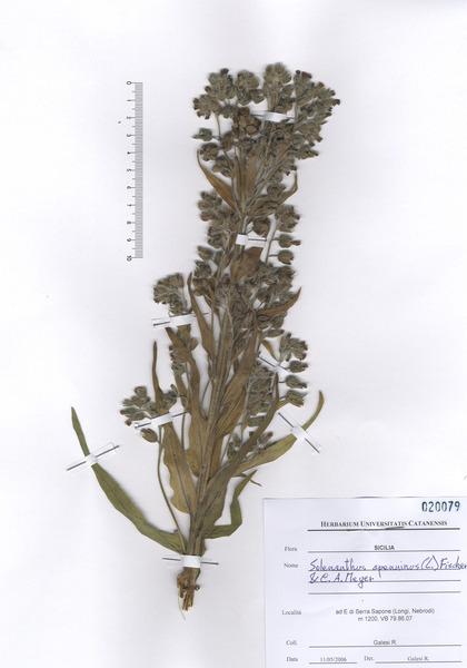 Cynoglossum apenninum L.