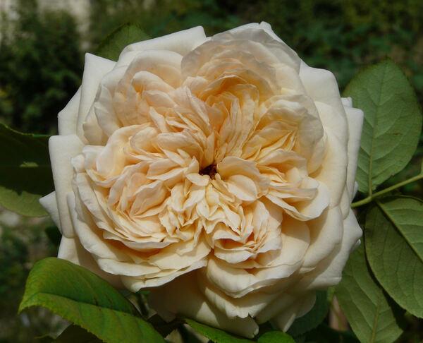 Rosa 'Anna Fendi ®'