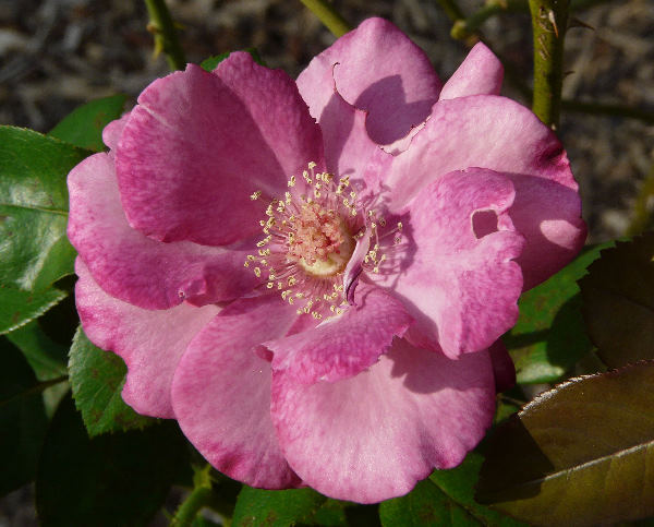 Rosa 'First Great Western'