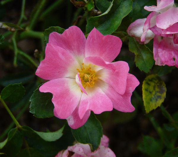 Rosa 'Pink Compact Meidiland ®'