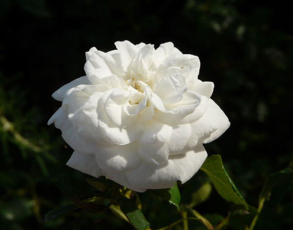 Rosa 'Arctica'
