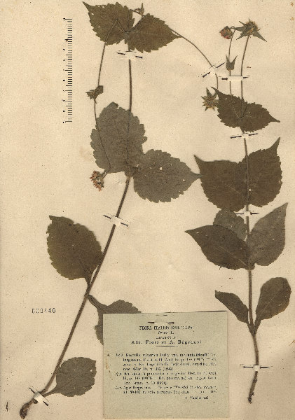 Knautia drymeja Heuff. subsp. tergestina (Beck) Ehrend.